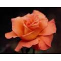 Косметическая отдушка Роза 10мл